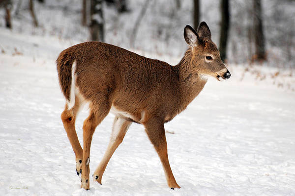 Photograph - Deer On Snowy Landscape by Christina Rollo