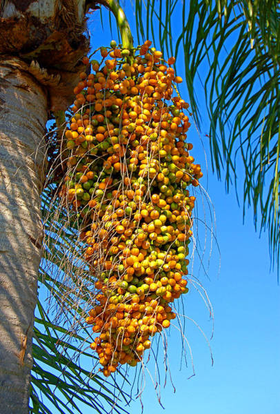 Photograph - Fruit Of The Queen Palm by Donna Proctor