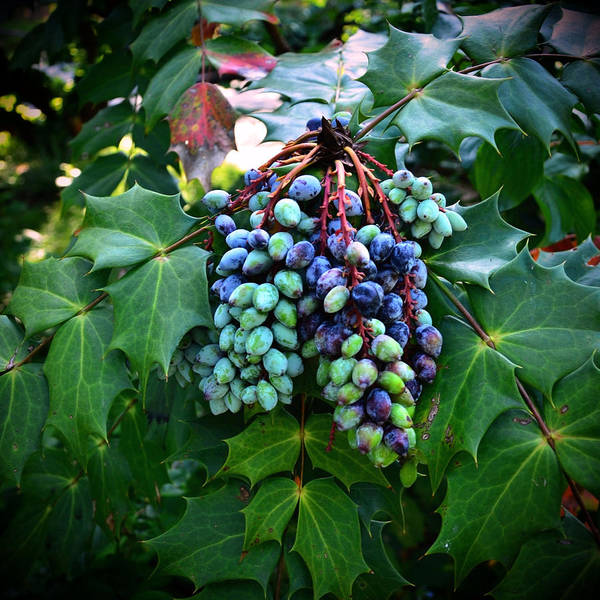 Photograph - Fruits Of The Vine by Natasha Marco