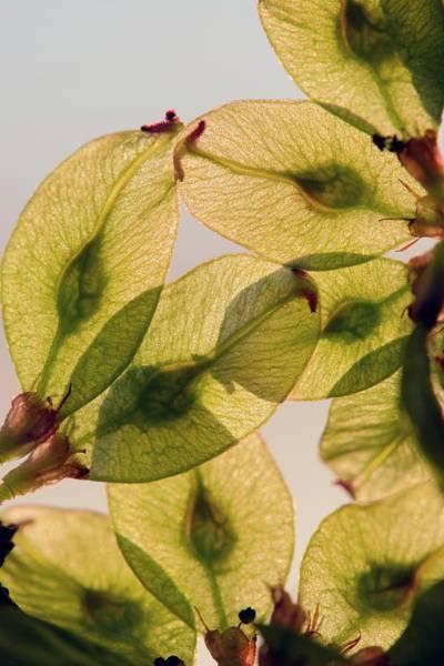 Elm Photograph - Fruits Of Wych Elm (ulmus Glabra) by Dr. John Brackenbury