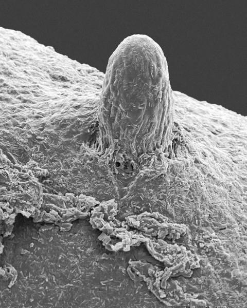 Lichens Photograph - Fruticose Lichen (usnea Sp.) by Dennis Kunkel Microscopy/science Photo Library