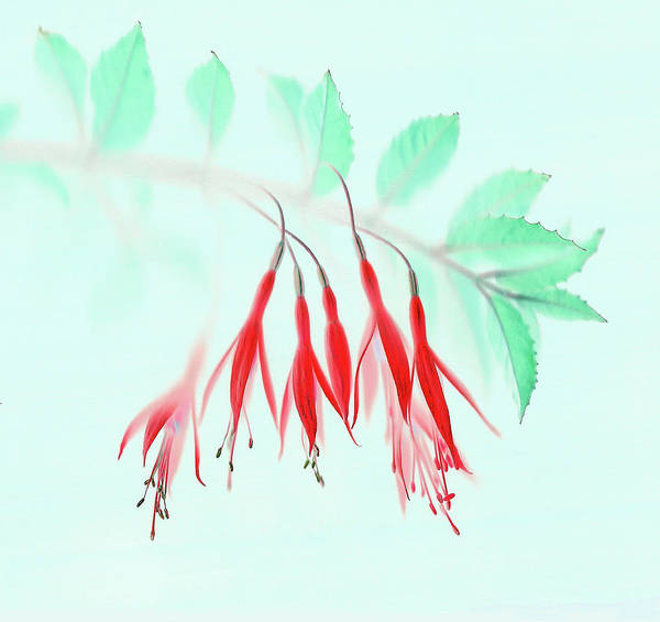 Wall Art - Photograph - Fuchsia by Brian Haslam