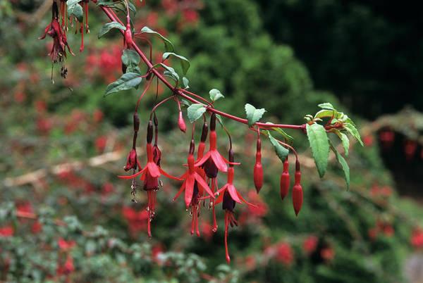 University Of Washington Wall Art - Photograph - Fuchsia Flowers by Sally Mccrae Kuyper/science Photo Library