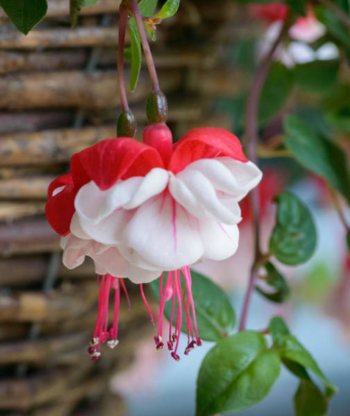 Photograph - Fuchsia  by Garvin Hunter