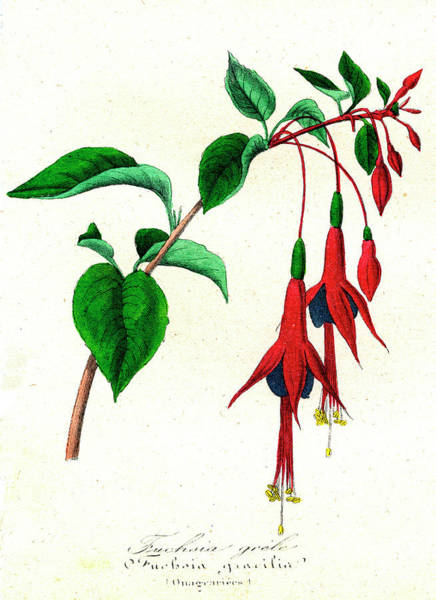 1855 Photograph - Fuchsia Gracilis by Collection Abecasis/science Photo Library