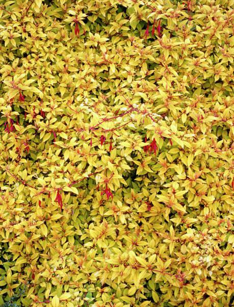 Horticulture Photograph - Fuchsia Magellanica Var. Gracilis 'aurea' by Geoff Kidd/science Photo Library