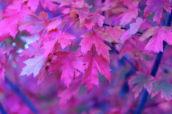 Nature Photograph - Full Frame Of Maple Leaves In Pink And by Noelia Ramon - Tellinglife