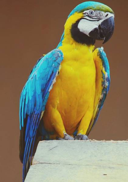 Macaw Photograph - Full Length Of Blue And Yellow Macaw by Hans Dyckerhoff / Eyeem