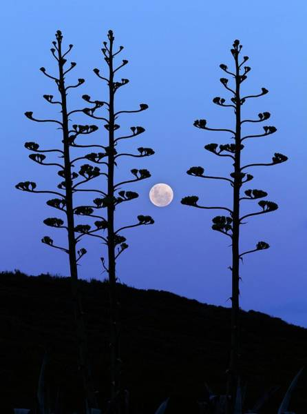 Astronomical Twilight Photograph - Full Moon And Agave Trees by Luis Argerich