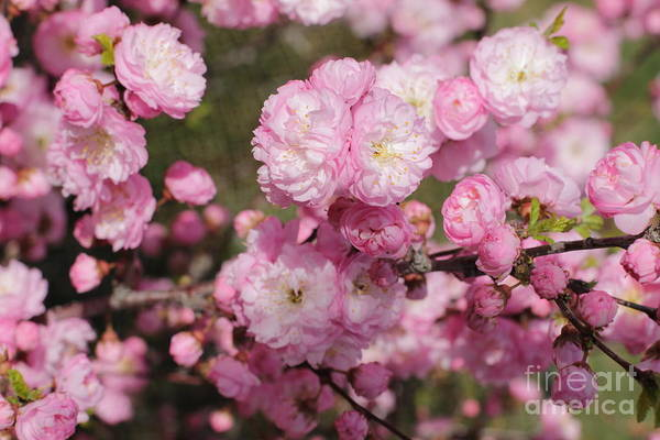 Photograph - Full Plum Blooms by Donna L Munro