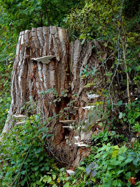 Photograph - Fun Guy Stump by Wild Thing