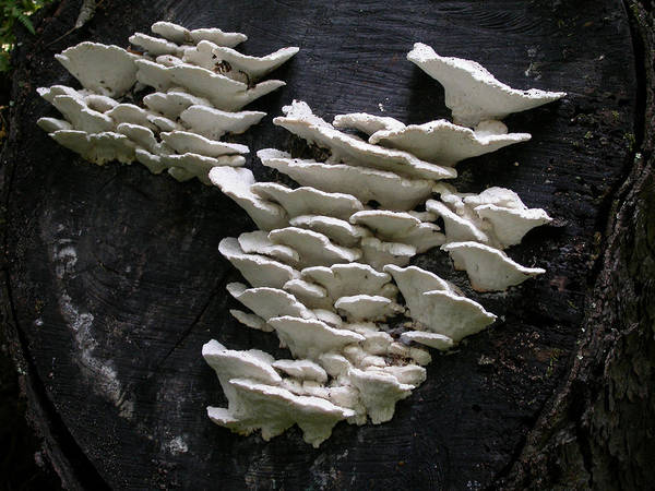 Wall Art - Photograph - Fungi On Tree by Fred Leavitt