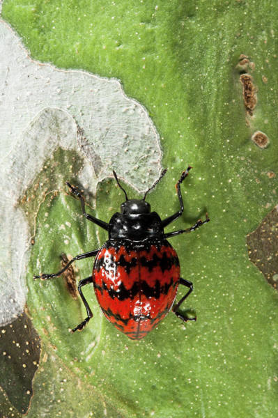 Ecuador Photograph - Fungus Beetle (erotylidae by Pete Oxford