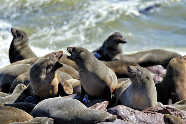 Urban Wildlife Photograph - Fur Seals At Cape Cross by Marco Brivio