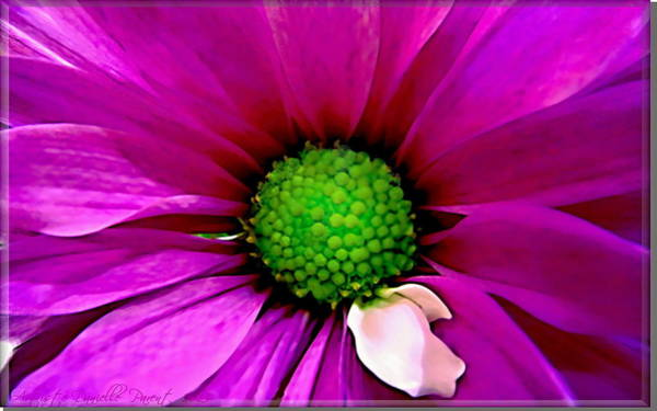 Photograph - Fushia Daisy  by Danielle  Parent
