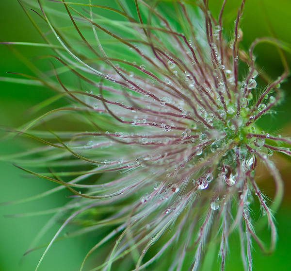 Wall Art - Photograph - Fuzzy Flower by Sarah Crites