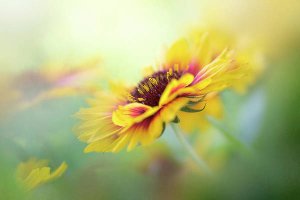 Wall Art - Photograph - Gaillardia by Jacky Parker