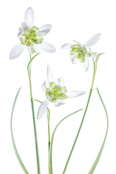 High Key Wall Art - Photograph - Galanthus Flore Pleno by Mandy Disher