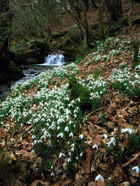 Drift Photograph - Galanthus Nivalis. by Bob Gibbons/science Photo Library