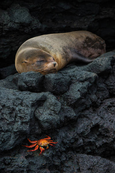 Ecuador Wall Art - Photograph - Galapagos Fur Seal (arctocephalus by Pete Oxford