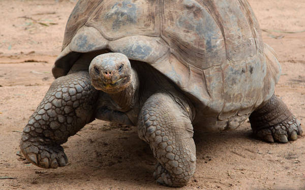 Photograph - Galapagos Giant Tortoise by Nicholas Blackwell