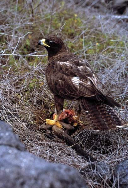 Galapagos Islands Photograph - Galapagos Hawk by Doug Allan/science Photo Library