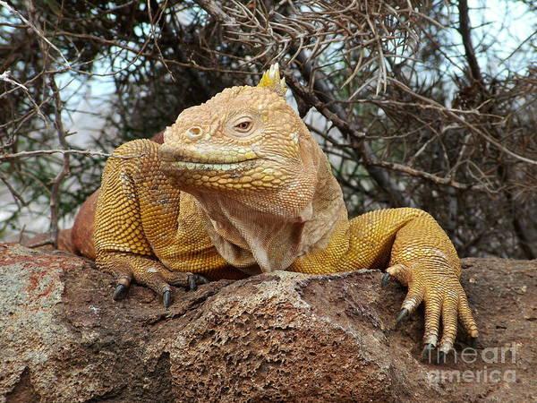 North Seymour Island Photograph - Galapagos Land Iguana by Fabian Romero Davila
