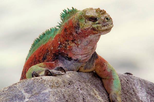 Green Iguana Wall Art - Photograph - Galapagos Marine Iguana Looks by Janet Muir