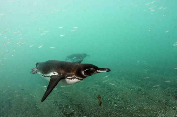 Ecuador Wall Art - Photograph - Galapagos Penguin (spheniscus Mendiculus by Pete Oxford