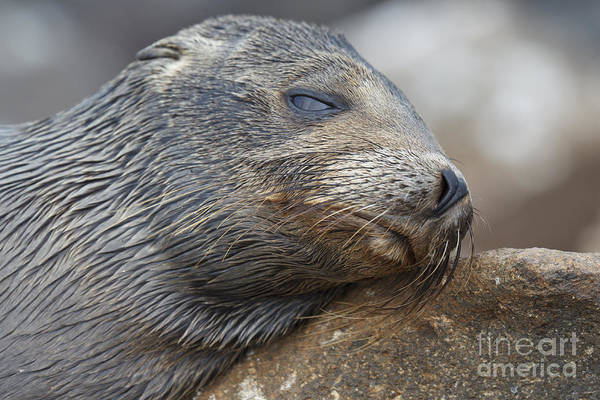 North Seymour Island Photograph - Galapagos Sea Lion Sleeping by Jason O Watson