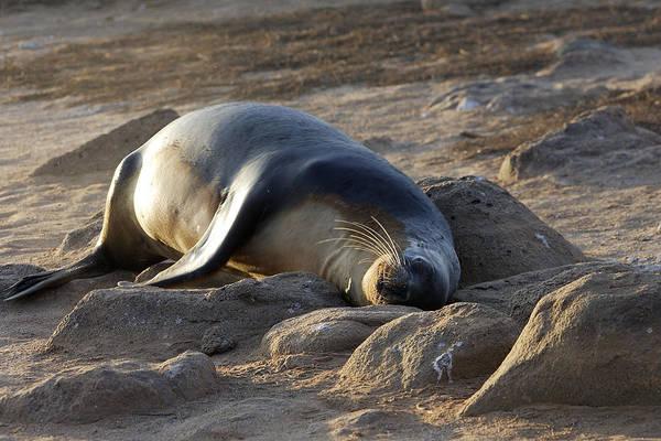 North Seymour Island Photograph - Galapagos Sealion by M. Watson