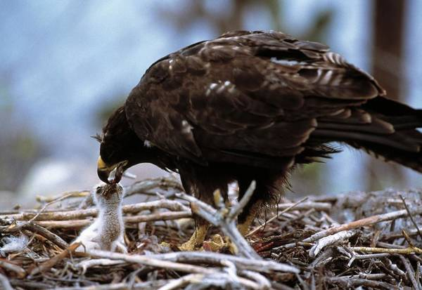 Galapagos Islands Wall Art - Photograph - Galapogos Hawks by Doug Allan/science Photo Library