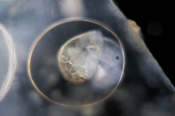 Molluscs Wall Art - Photograph - Galba Truncatula Embryo by Sinclair Stammers