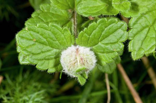 Veronica Photograph - Gall Midge Gall by Bob Gibbons