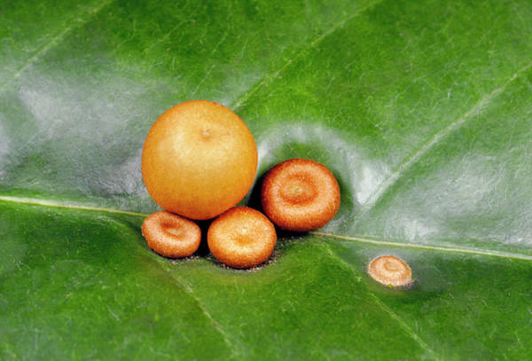 Wall Art - Photograph - Galls On A Leaf by Sinclair Stammers/science Photo Library