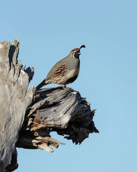 Thicket Photograph - Gamble's Quail, Callipepla Gambelii by Maresa Pryor