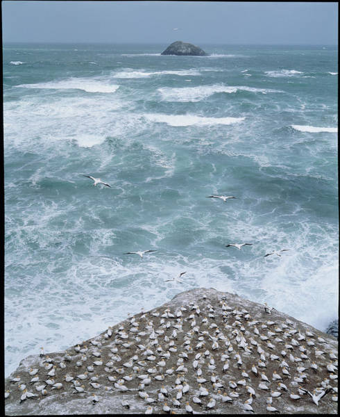 Tasman Sea Photograph - Gannet Colony by Simon Fraser/science Photo Library