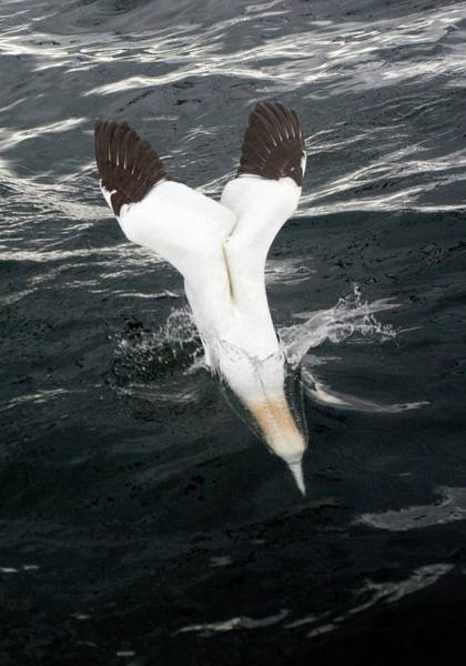 Wall Art - Photograph - Gannet Diving Into Water by John Devries/science Photo Library