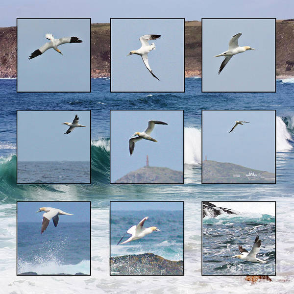 Sennen Cove Photograph - Gannets Galore by Terri Waters