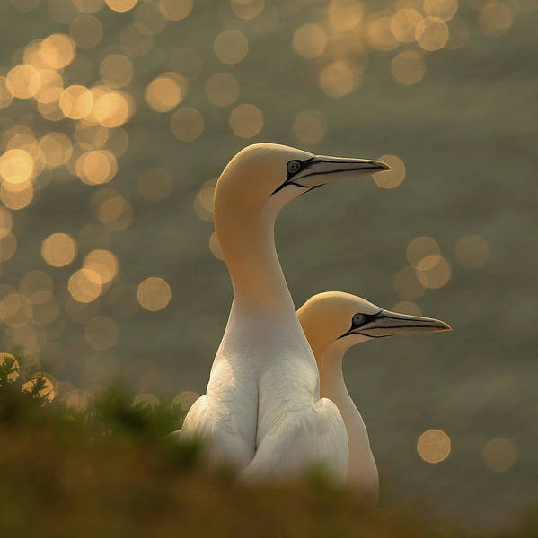 Bokeh Wall Art - Photograph - Gannets In Sunset by Karen Kolbeck