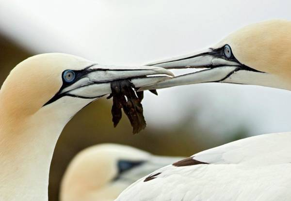 Mating Ritual Photograph - Gannets Passing Seaweed Token by John Devries/science Photo Library