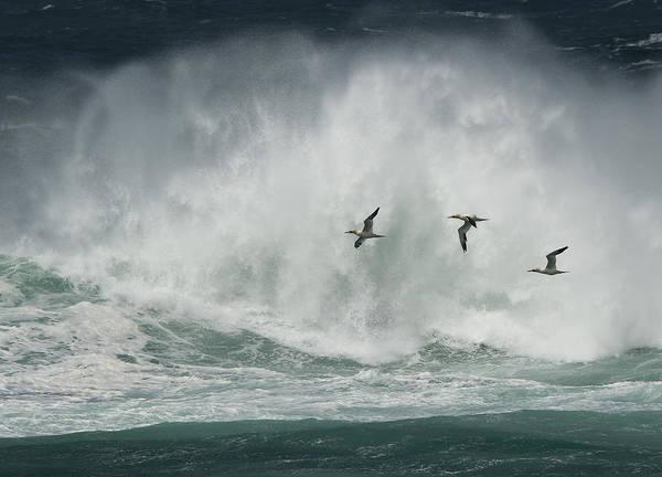 Gannets Past A Raging Sea. Art Print