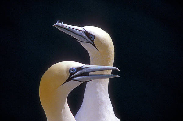 Wall Art - Photograph - Gannets by Simon Fraser/science Photo Library