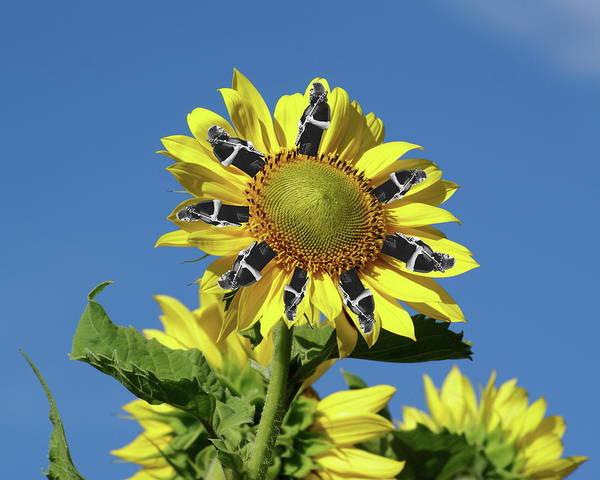 Photograph - Garciacat Sunflower by Ben Upham