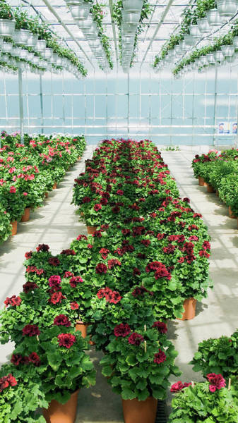 Glasshouse Photograph - Garden Centre Pelargoniums by Gustoimages/science Photo Library