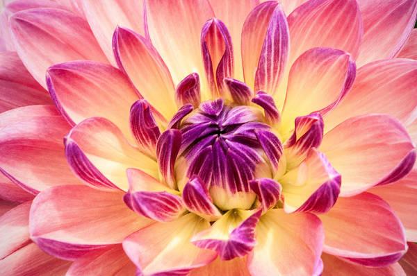 Don Johnson Photograph - Garden Dahlia by Don Johnson