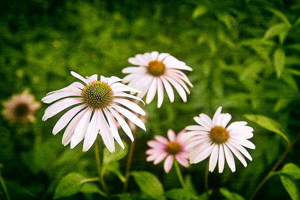 Floral Arrangement Photograph - Garden Dasies by Tom Mc Nemar
