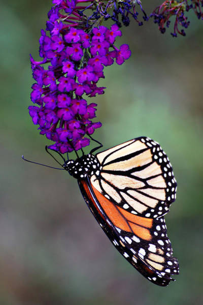 Photograph - Garden Monarch by Leda Robertson