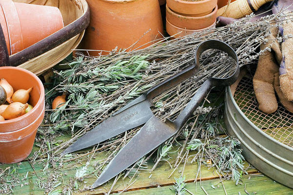 Herbs Photograph - Garden Shears by Geoff Kidd/science Photo Library