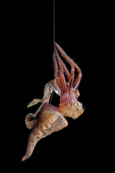 Molting Wall Art - Photograph - Garden Spider Moulting by Melvyn Yeo/science Photo Library